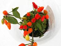 pianta_peperoncino